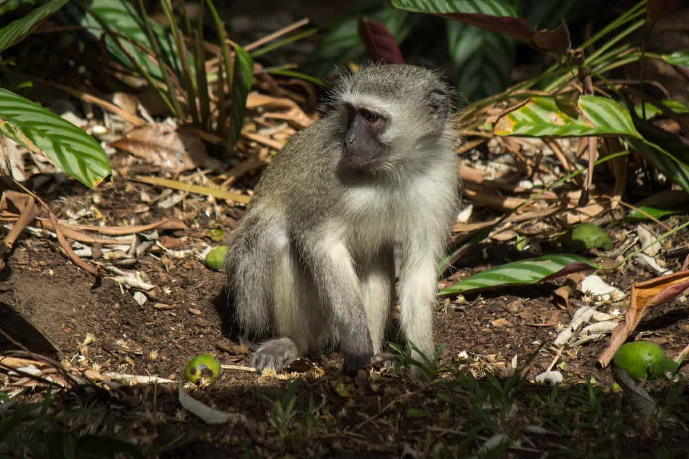 Vervet Monkey5