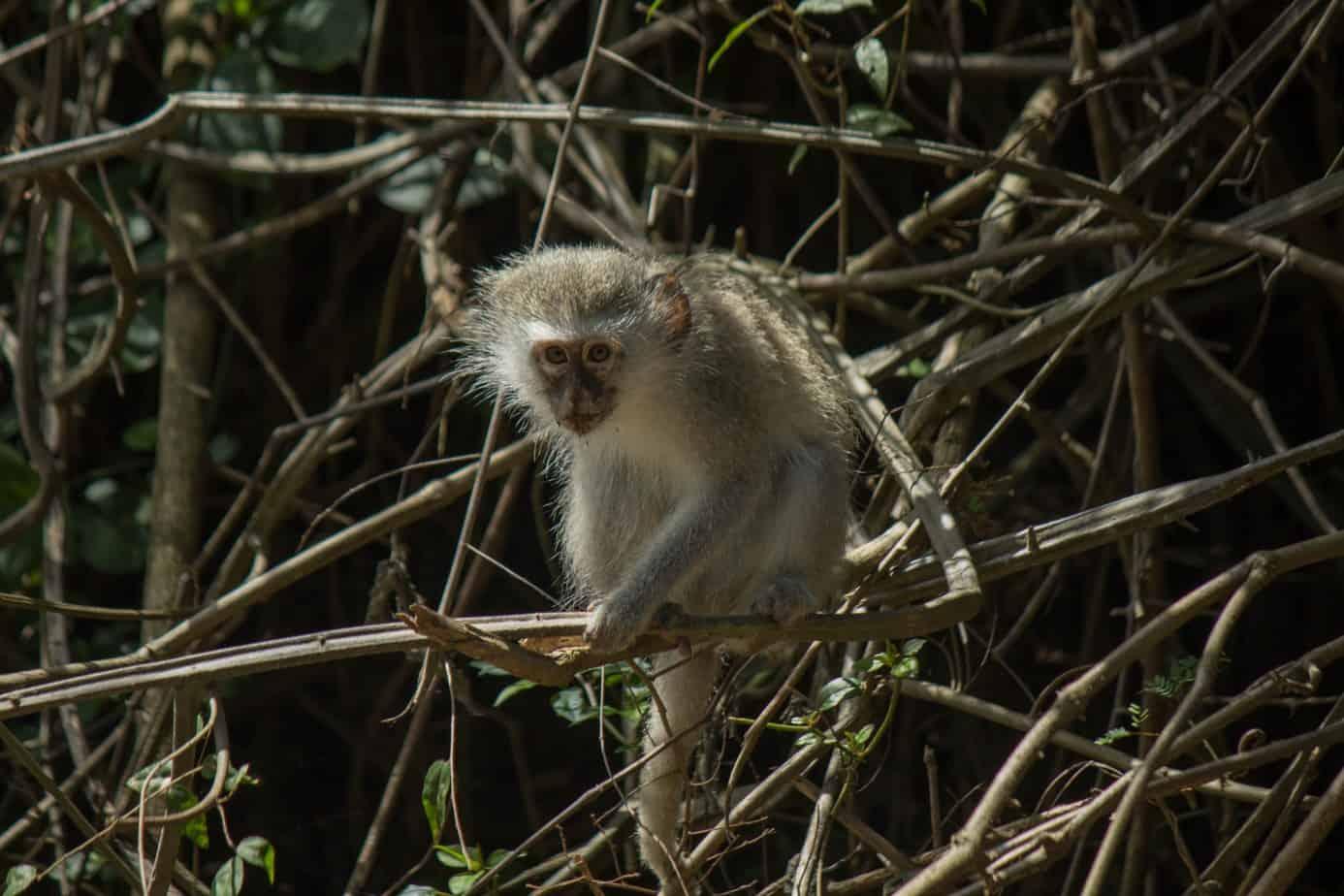 Vervet Monkey3