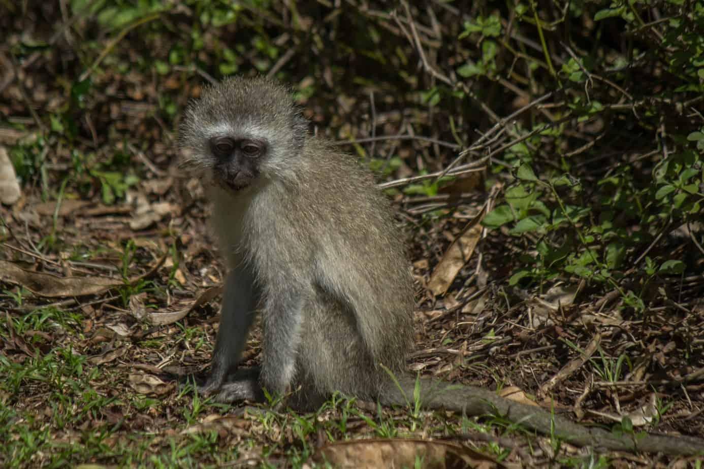 Vervet Monkey9