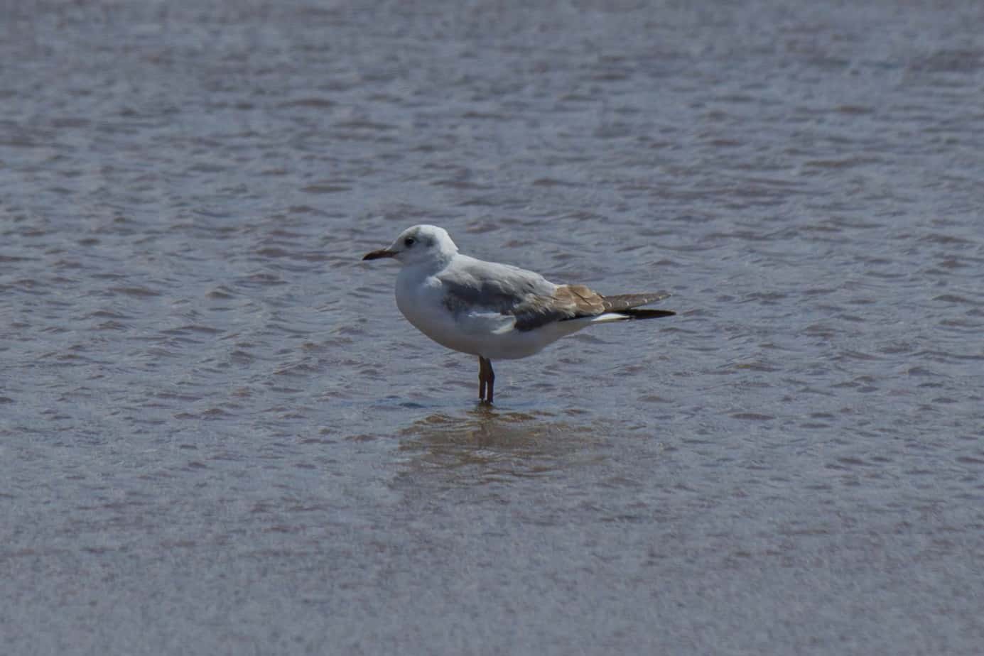 Grey-Headed Gull4