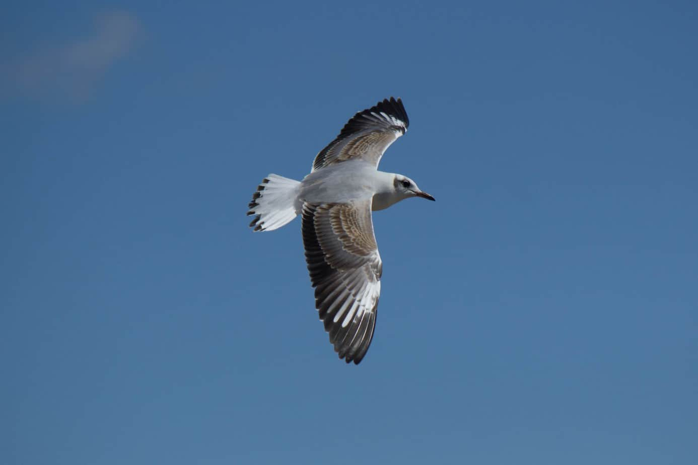 Grey-Headed Gull3