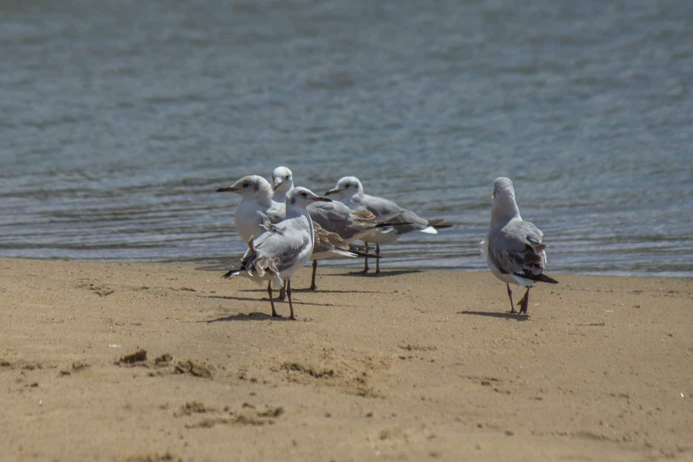Grey-Headed Gull5