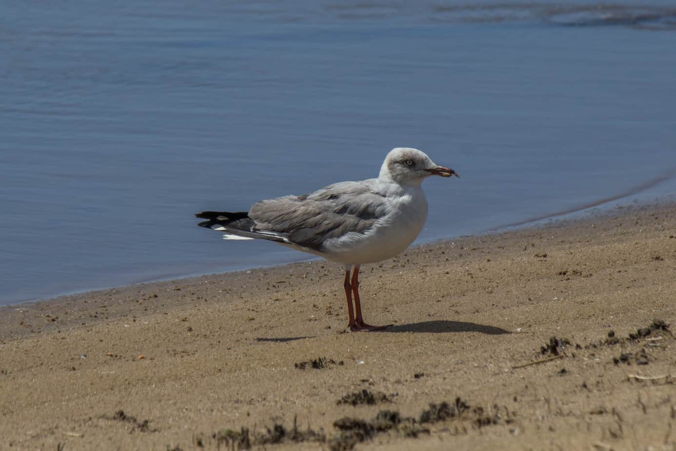 Grey-Headed Gull2