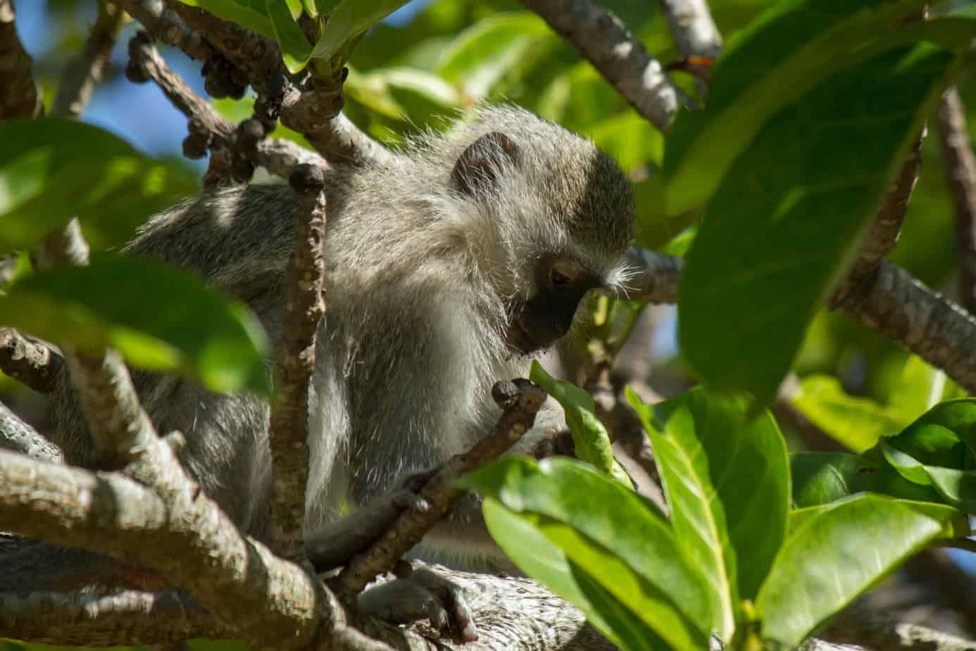 Vervet Monkey4