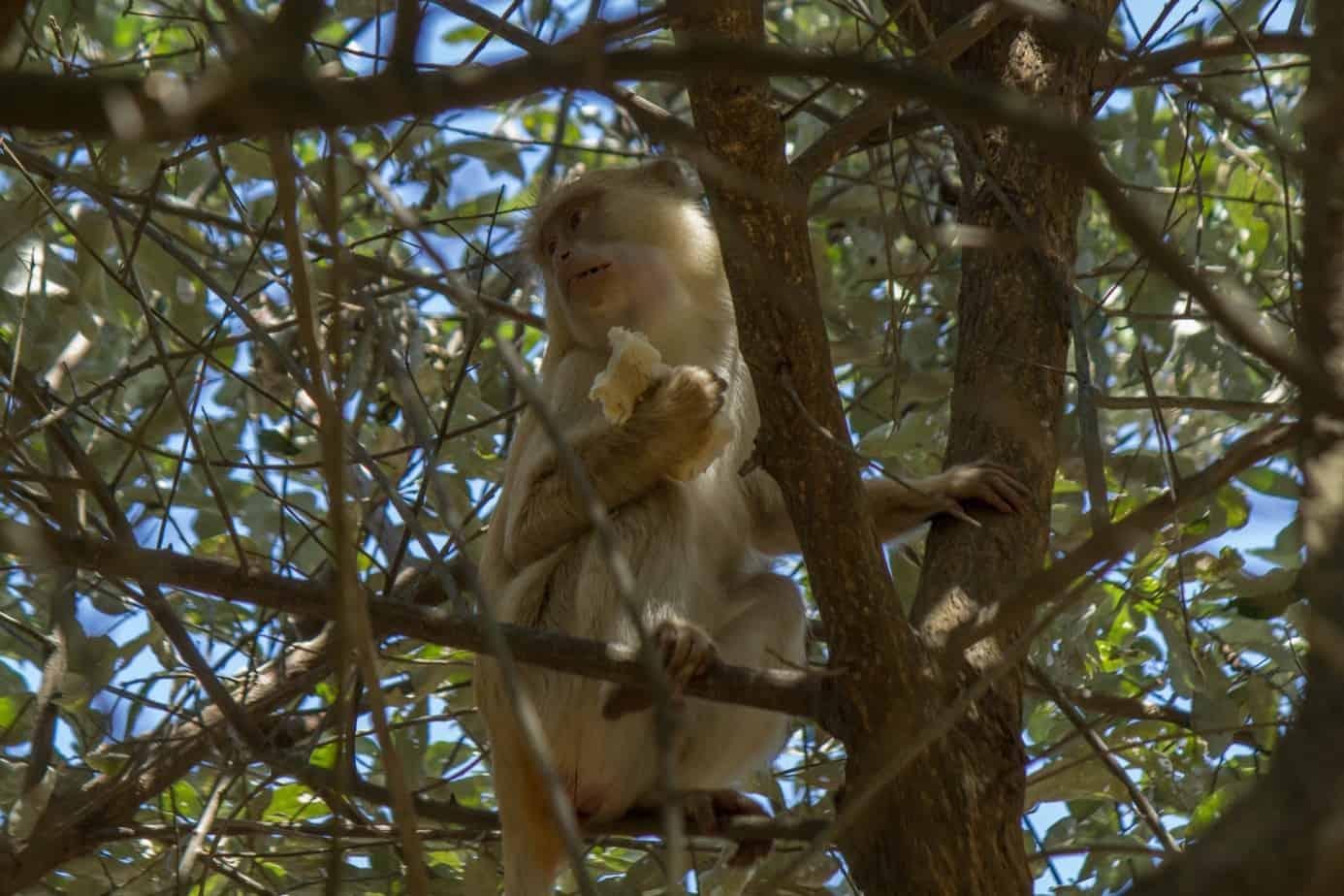 Diademmarekatt – Albino @ Cape Vidal – iSimangaliso Wetland Park, Sør-Afrika. Foto: Håvard Rosenlund