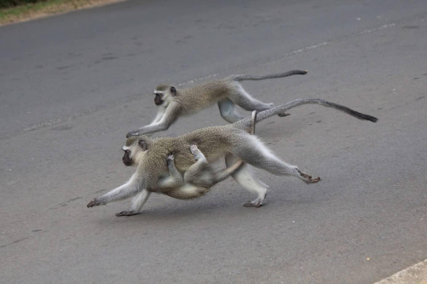 Vervet Monkey2