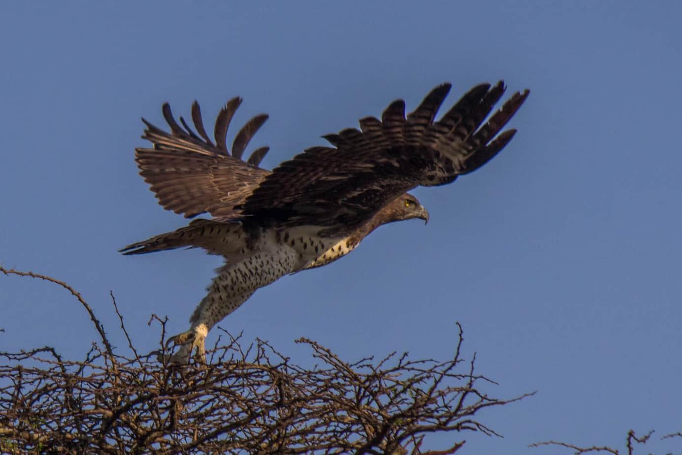 Martial Eagle1