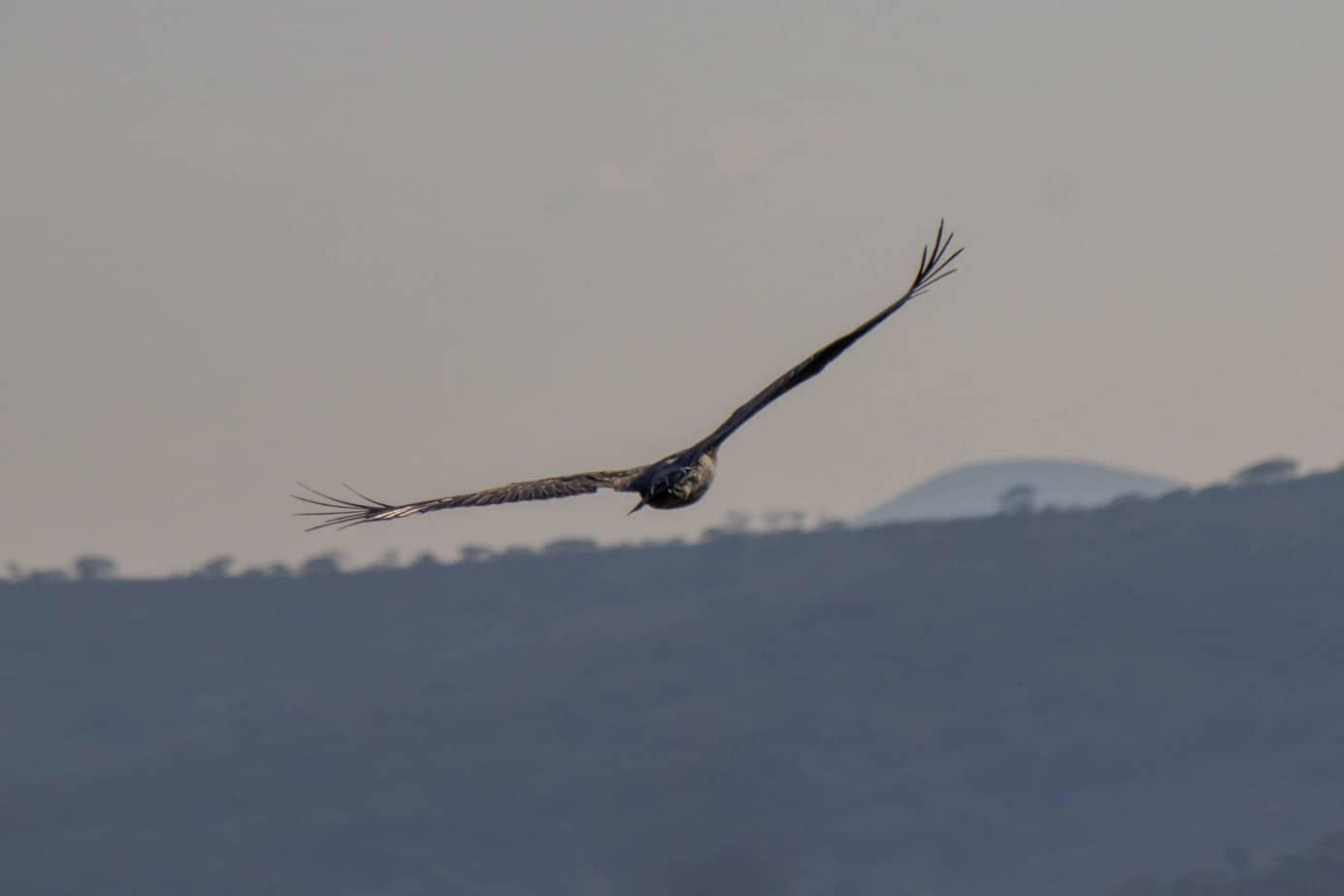 Martial Eagle5
