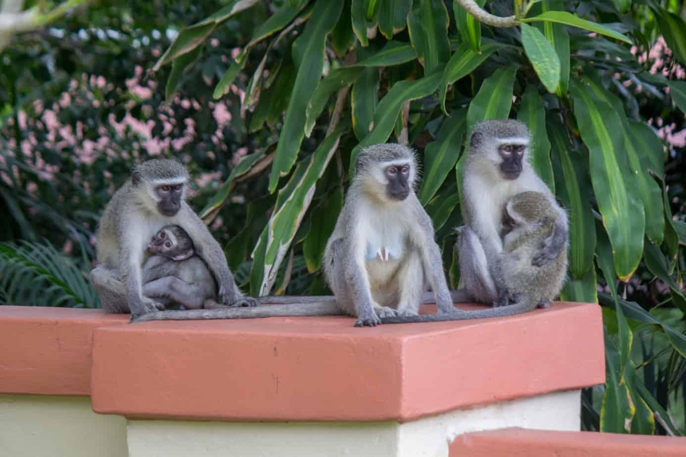 Vervet Monkey8