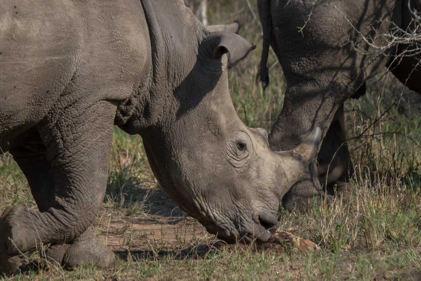 White Rhinoceros2