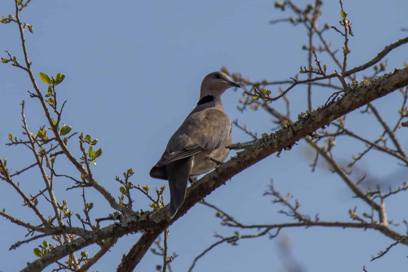 Ring-Necked Dove @ Hluhlwe-iMfolozi Park. Photo: Håvard Rosenlund