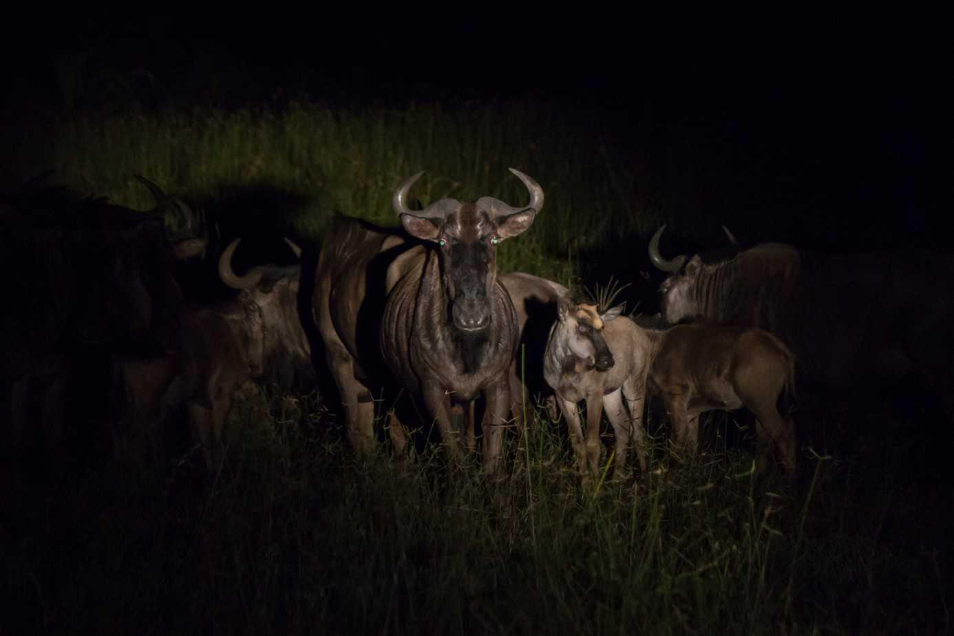 Blue Wildebeest5