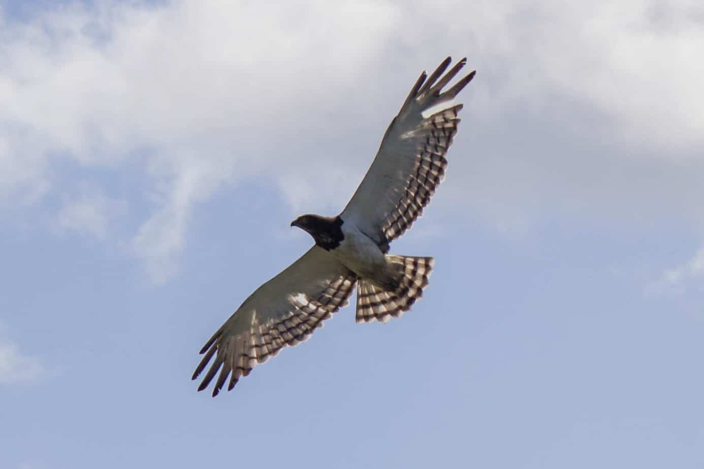 Black-chested Snake Eagle @ Tembe Elephant Park. Photo: Håvard Rosenlund