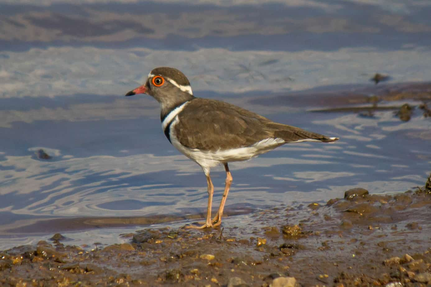 Three-Banded Plover @ Mkuze Game Reserve. Photo: Håvard Rosenlund