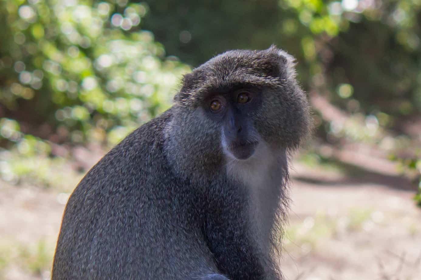Blue Monkey9