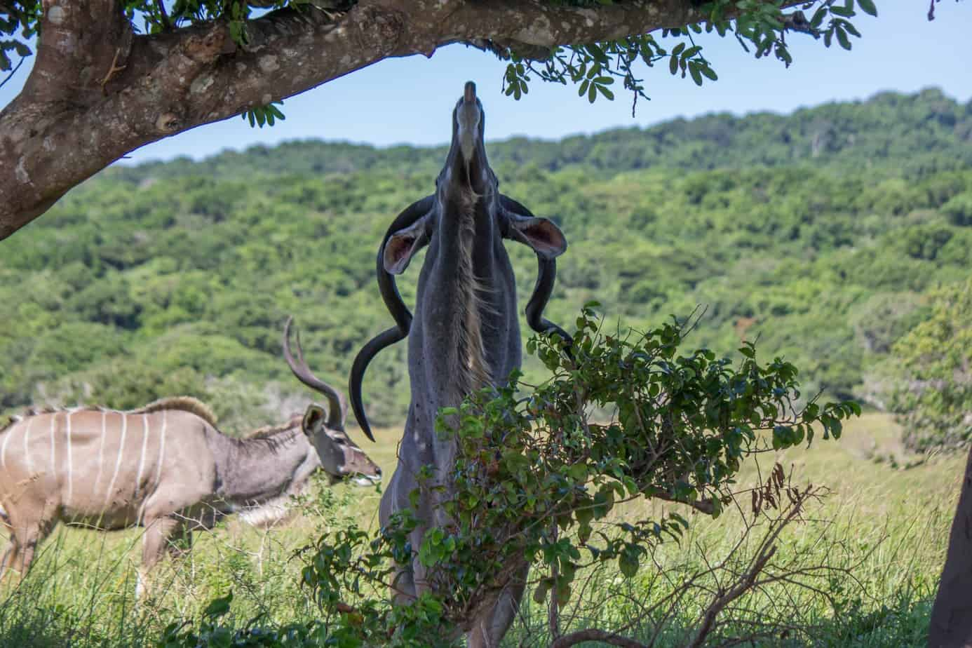Greater Kudu8