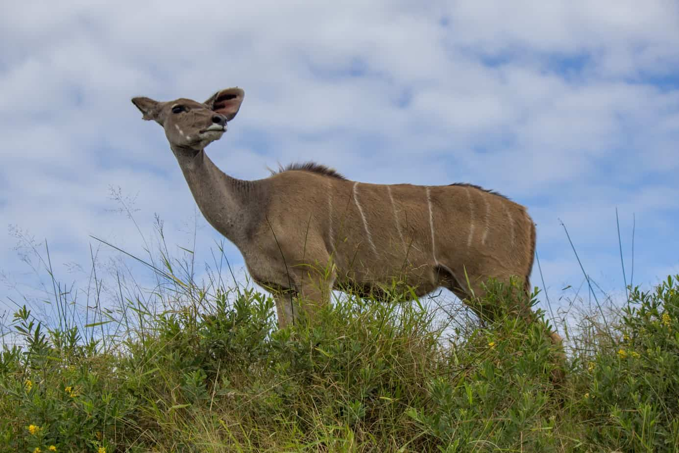 Greater Kudu4