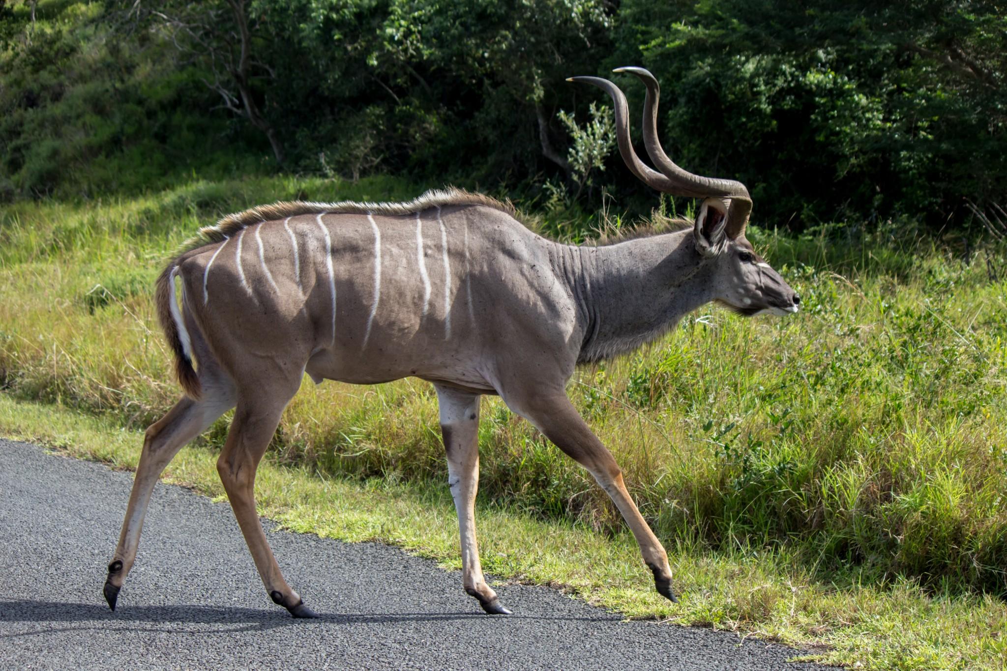 Greater Kudu10