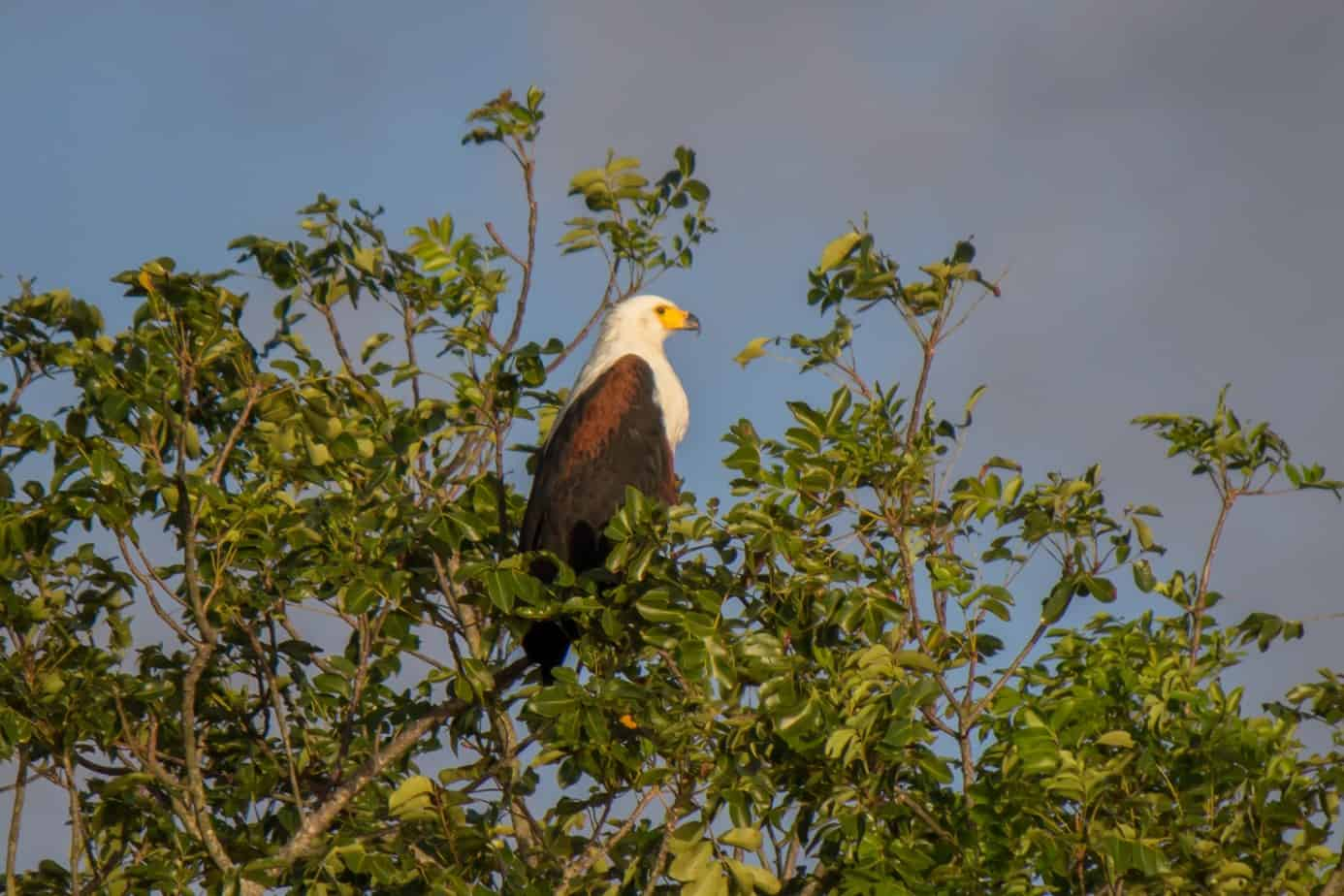 African Fish Eagle3