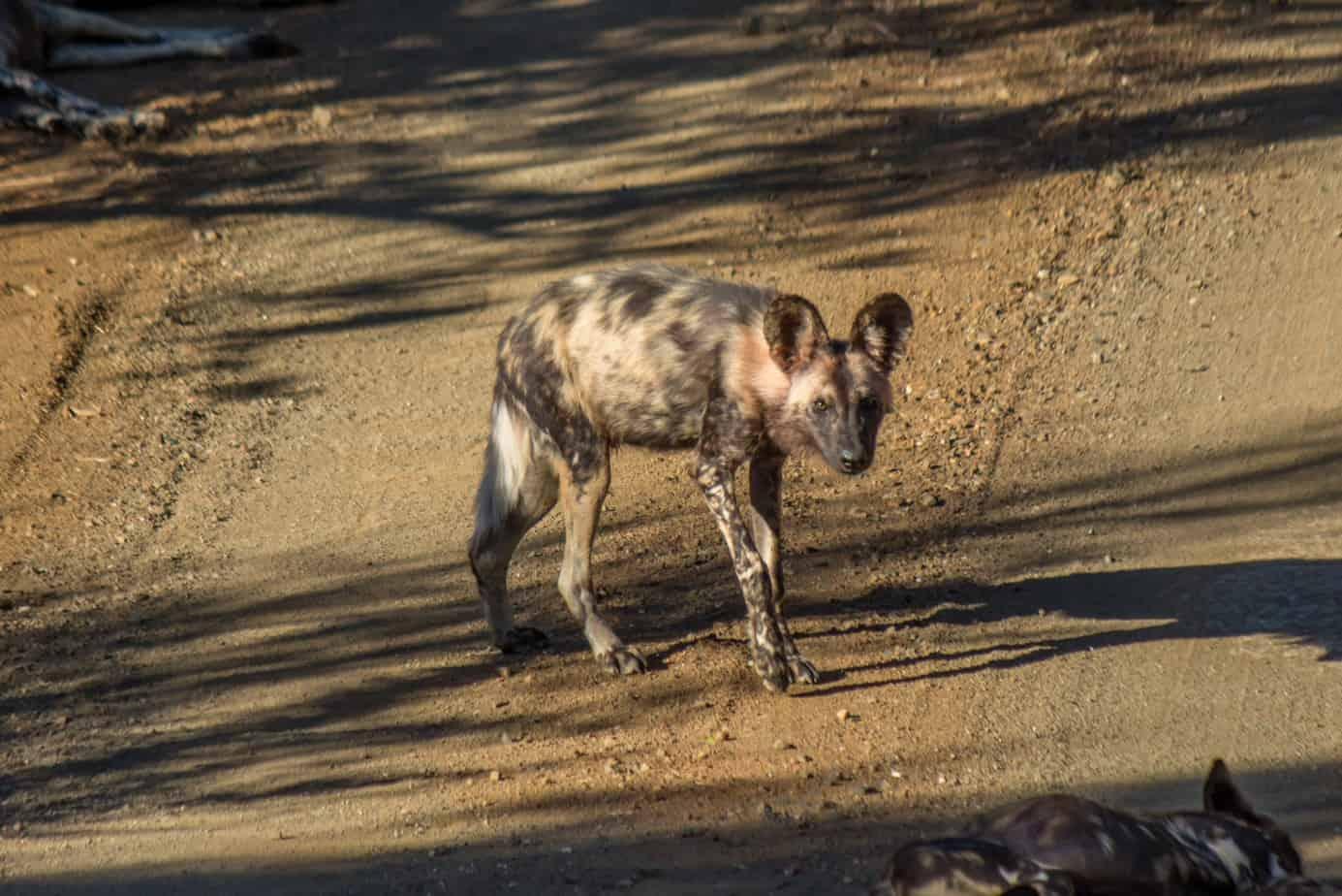 African Wild Dog @ Hluhlwe-iMfolozi Park. Photo: Håvard Rosenlund
