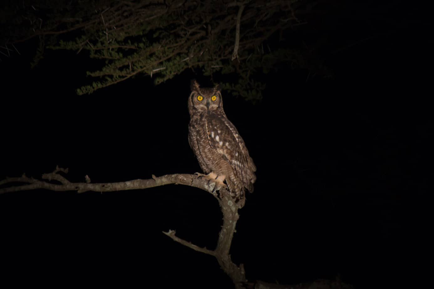 Spotted Eagle-Owl1