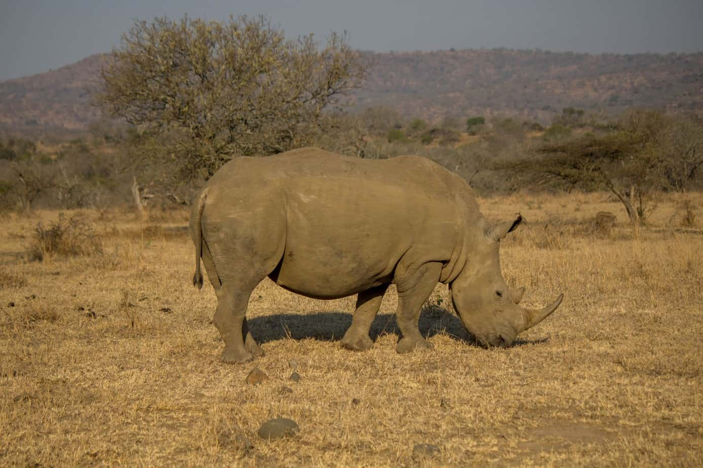 White Rhinoceros13
