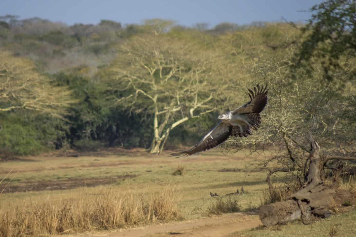Martial Eagle4