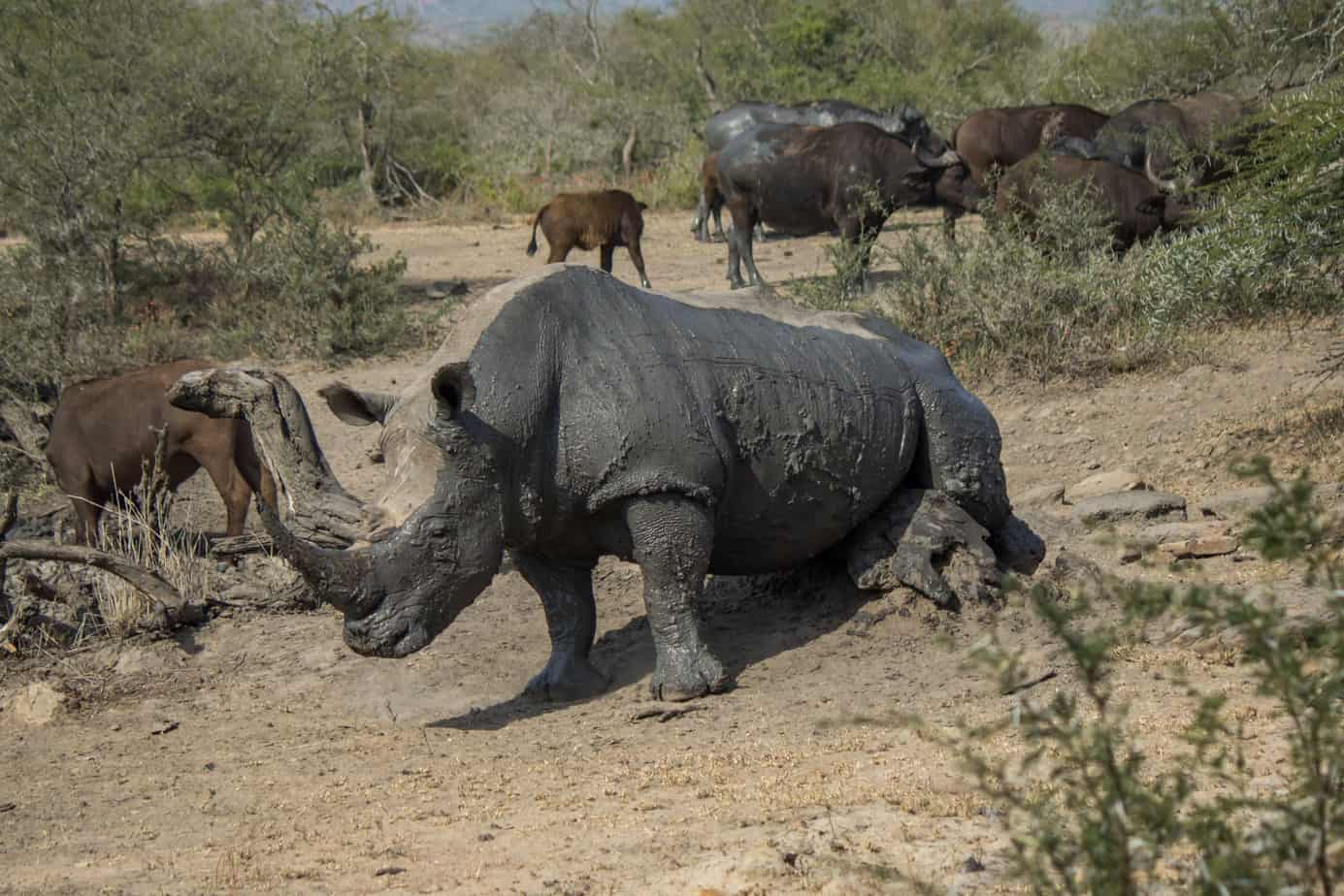 White Rhinoceros10