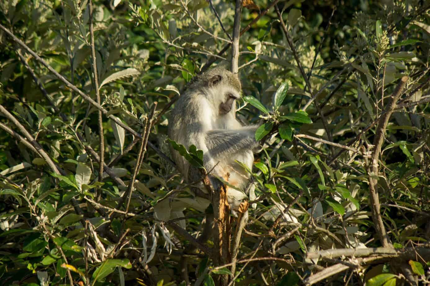 Vervet Monkey10