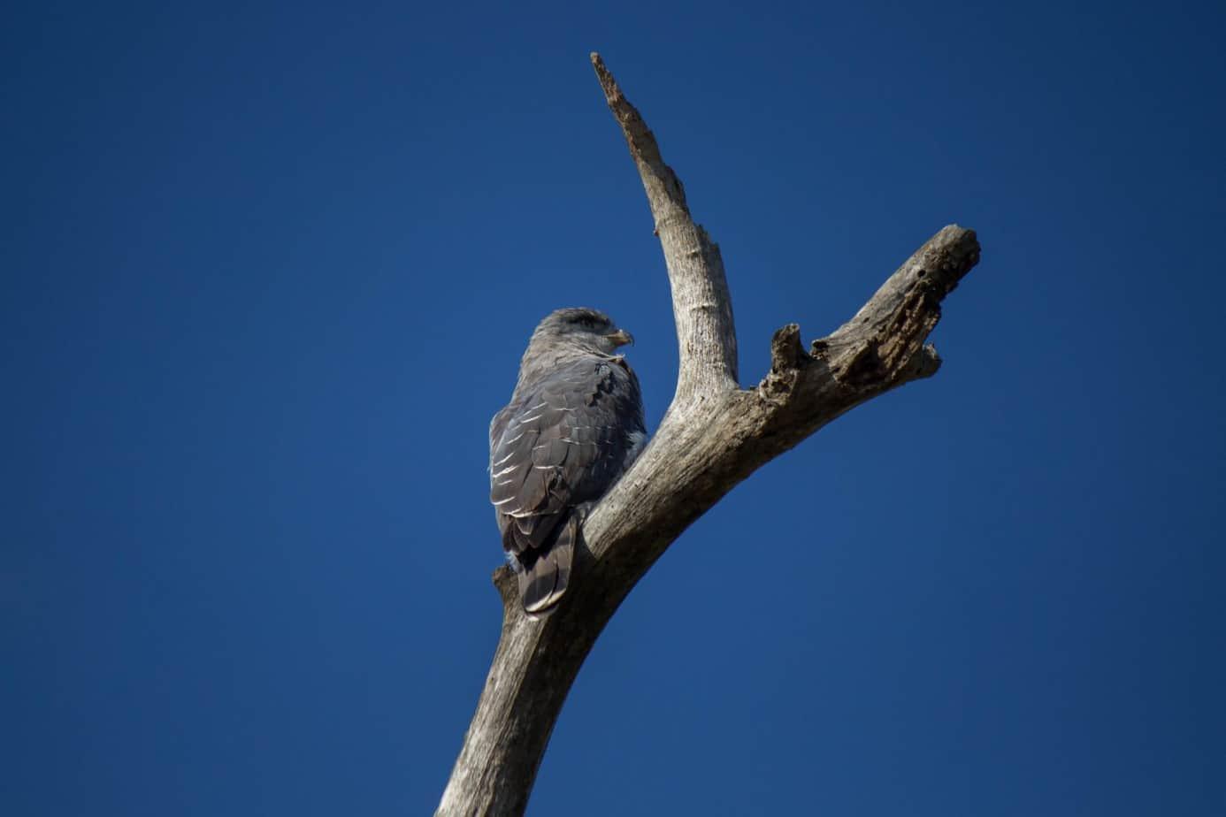 Southern Banded Snake Eagle3