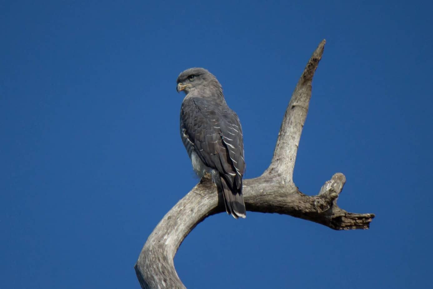 Southern Banded Snake Eagle @ Eastern Shores - iSimangaliso Wetland Park. Photo: Håvard Rosenlund