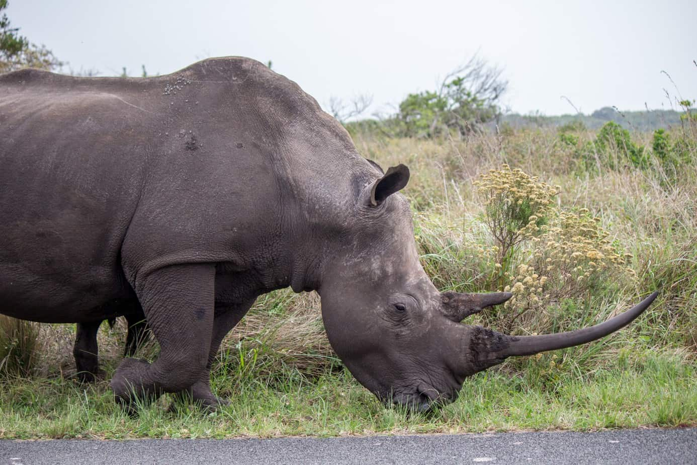 White Rhinoceros14
