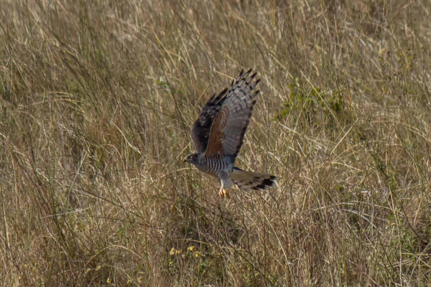 African Cuckoo-Hawk3