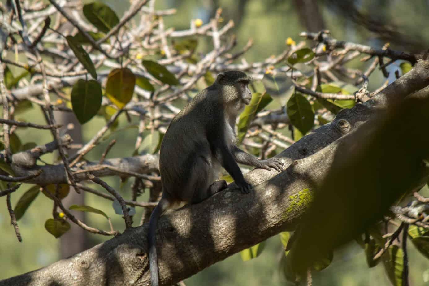 Blue Monkey3