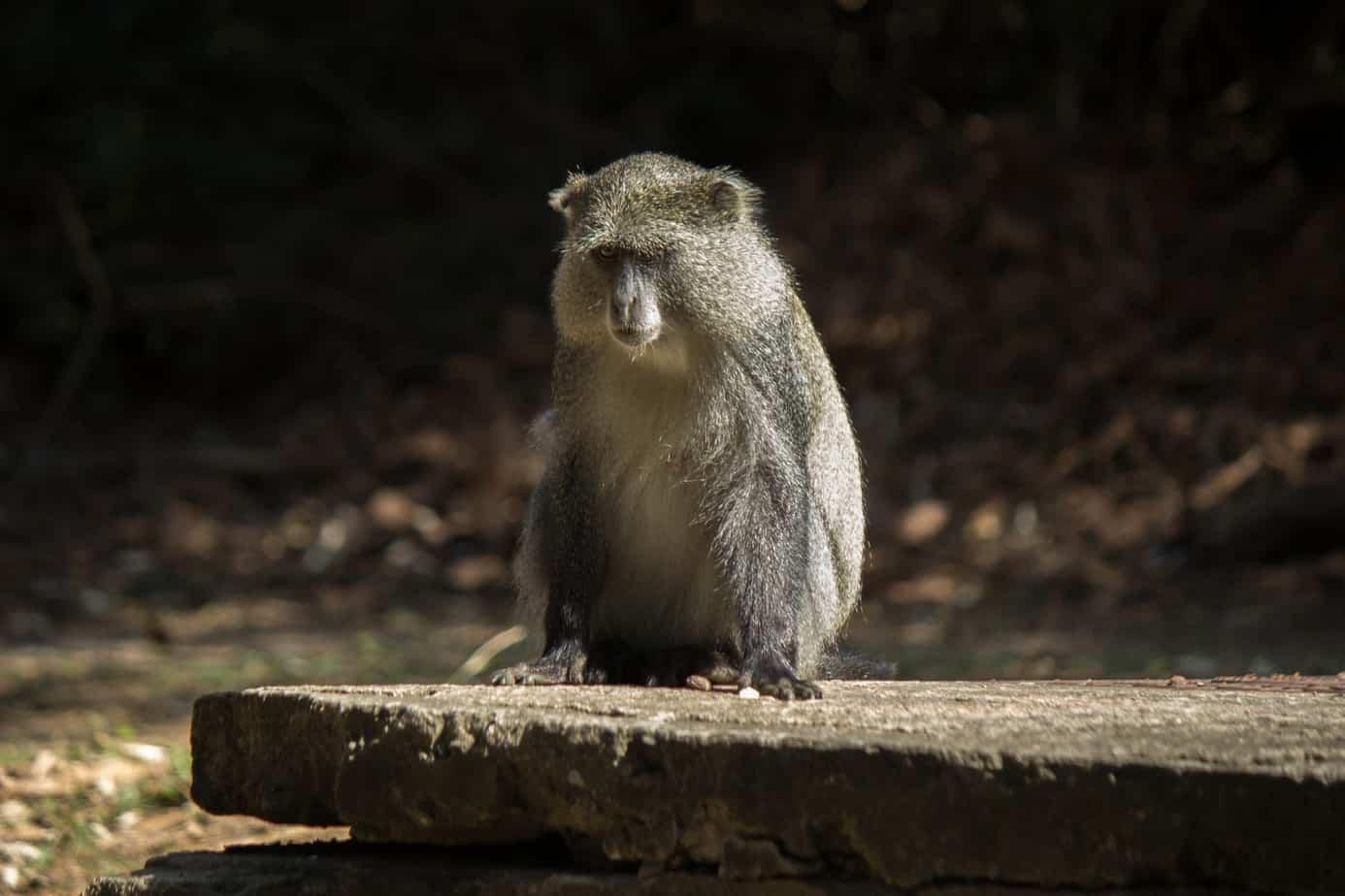 Diademmarekatt @ Cape Vidal – iSimangaliso Wetland Park, Sør-Afrika. Foto: Håvard Rosenlund