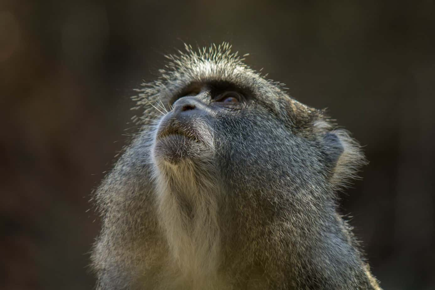 Blue Monkey1