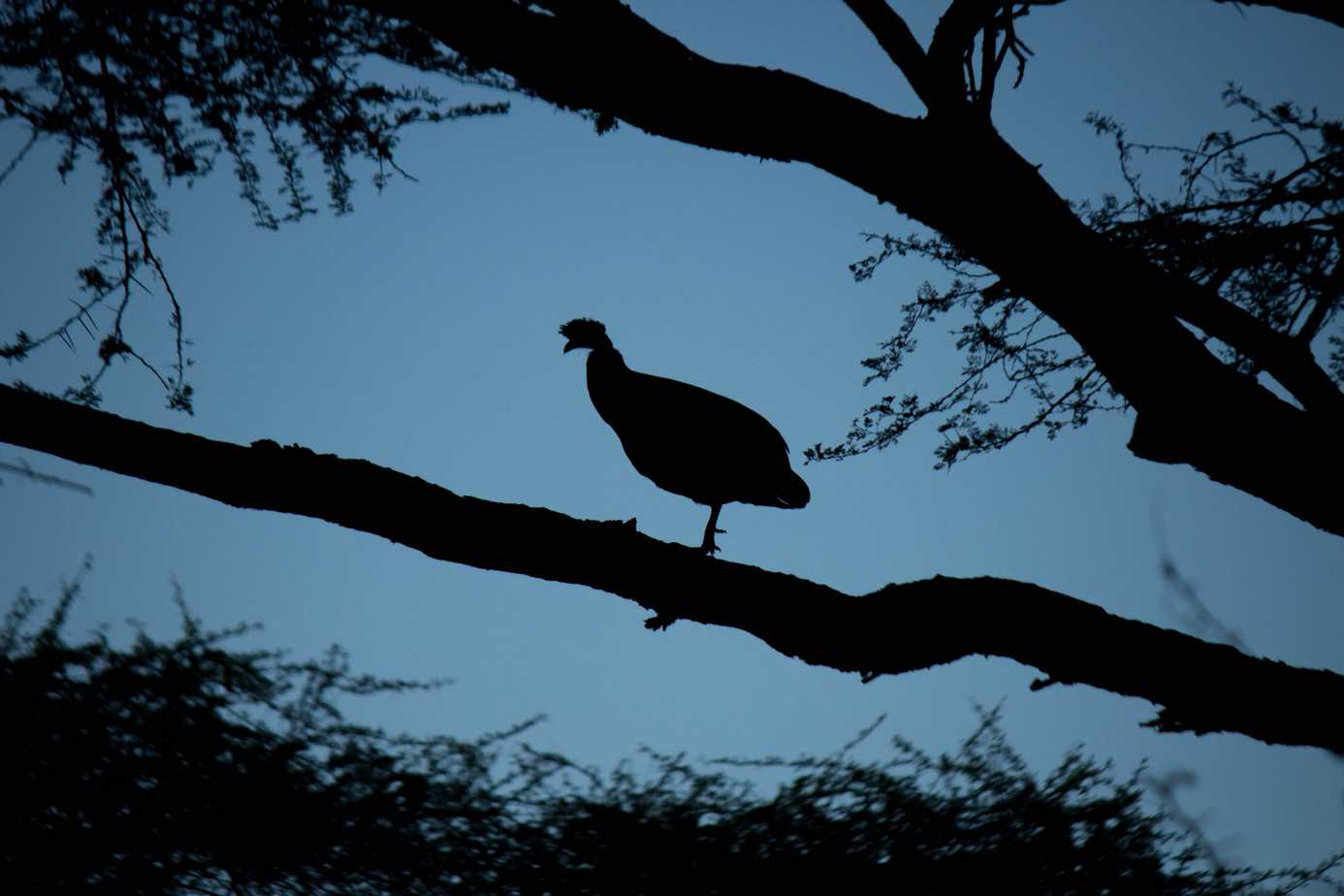 Southern Crested Guineafowl7