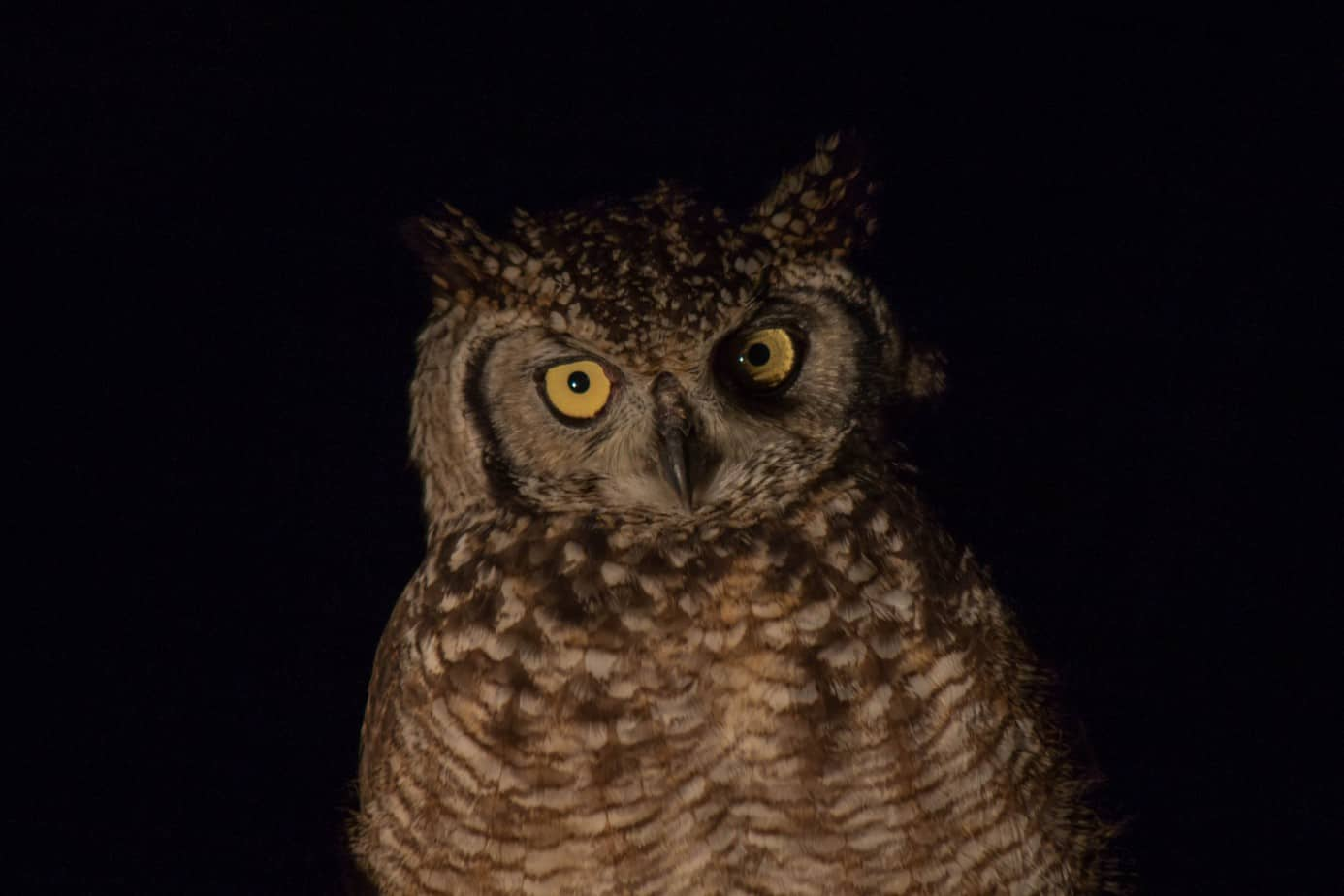 Spotted Eagle-Owl2