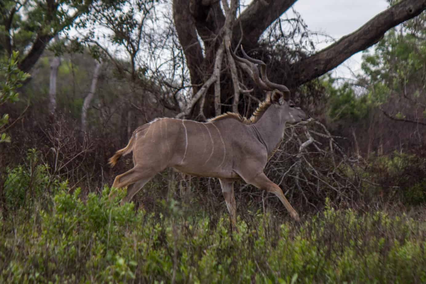 Greater Kudu7