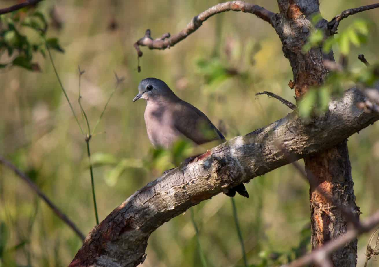 Emerald-Spotted Wood Dove2