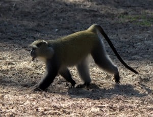 Dominant male Samango monkey @ Cape Vidal - iSimangaliso Wetland Park. Photo: Håvard Rosenlund