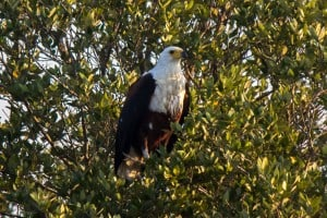 African Fish Eagle @ St Lucia Estuary. Photo: Håvard Rosenlund