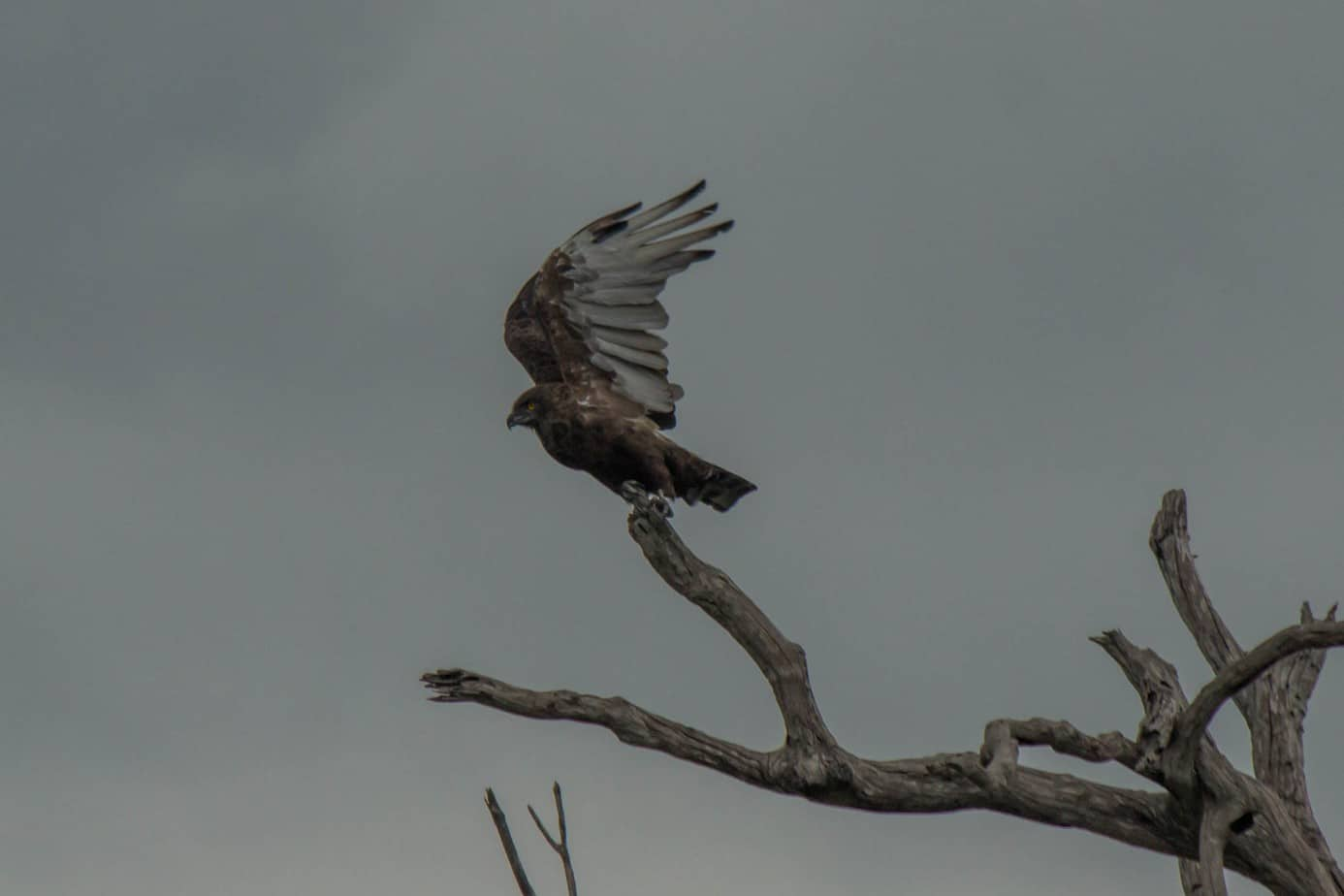 Brown Snake Eagle1