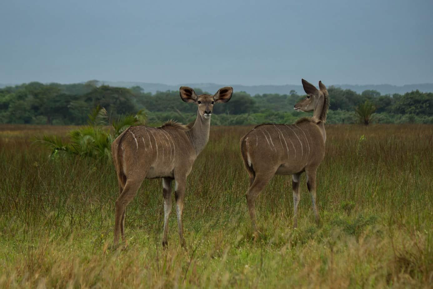 Greater Kudu2