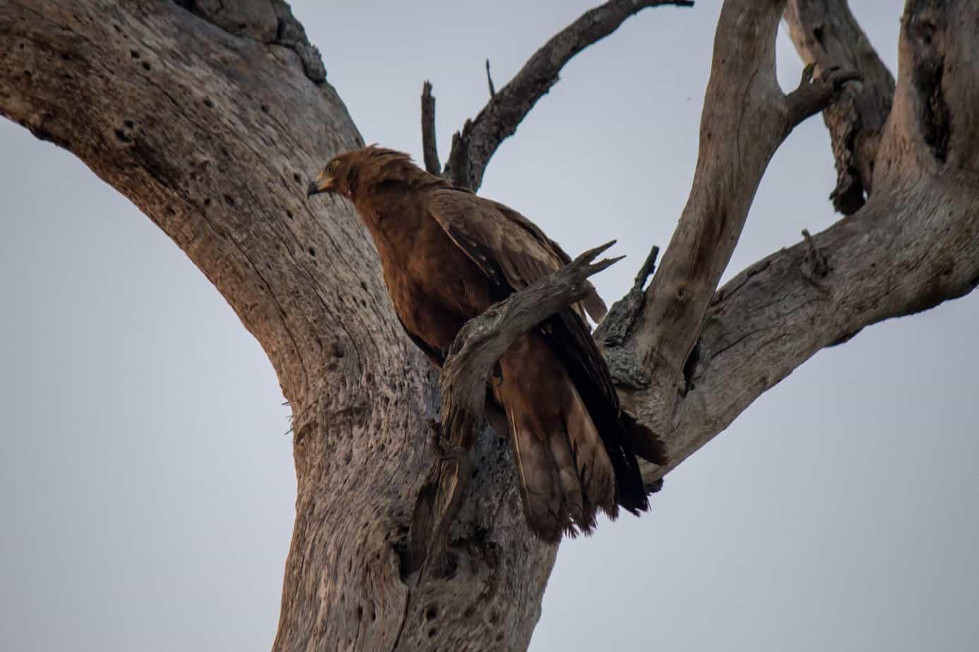 Klatrehauk – Ungfugl @ Tembe Elephant Park, Sør-Afrika. Foto: Håvard Rosenlund