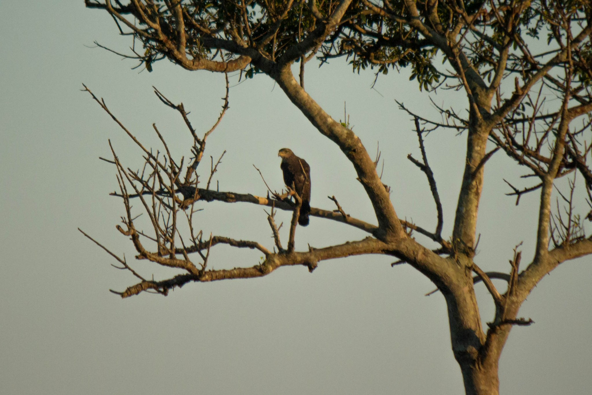 Southern Banded Snake Eagle2