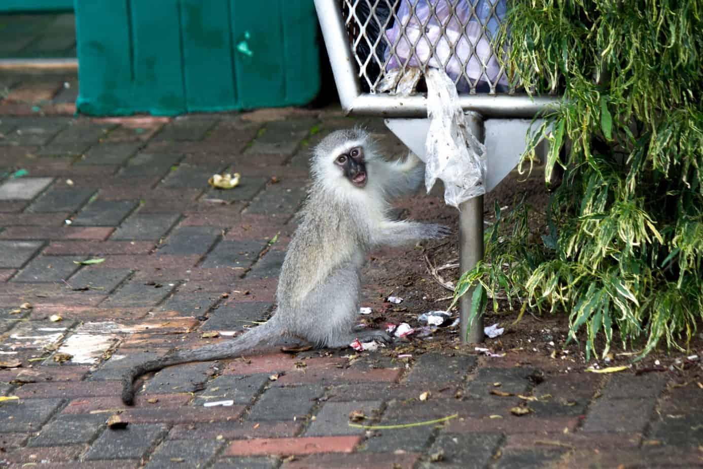 Vervet Monkey15