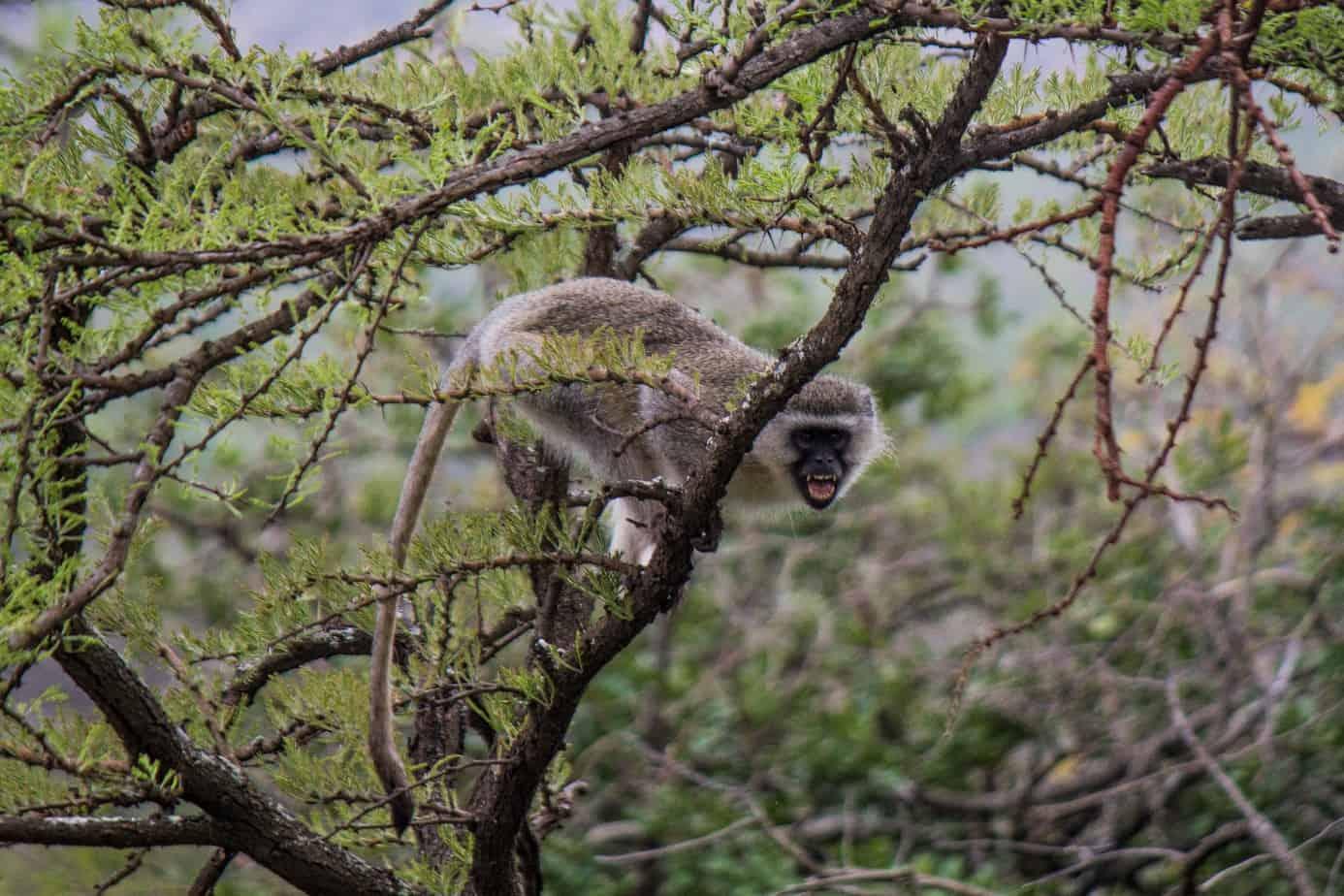 Vervet Monkey6