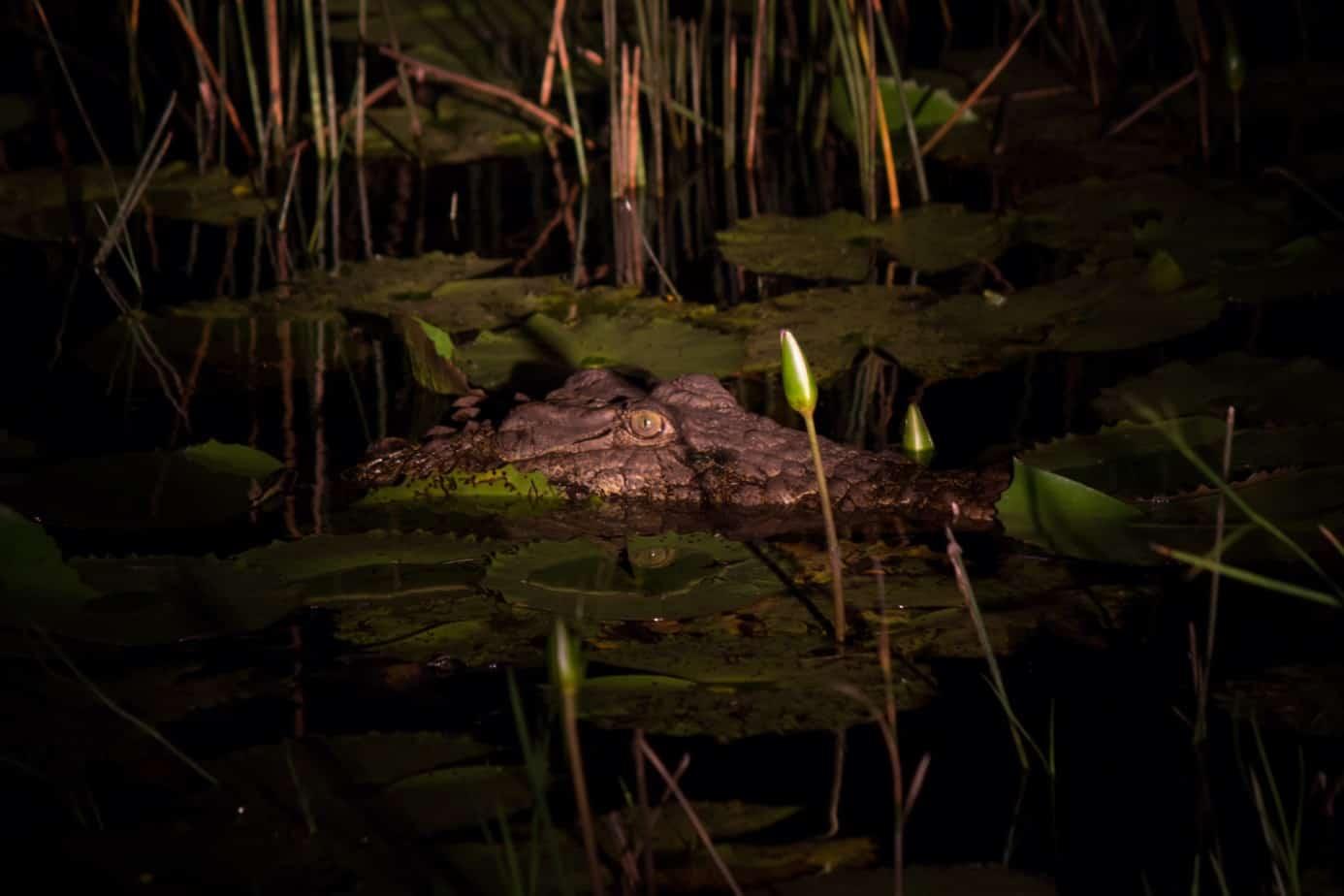 Nile Crocodile4