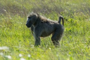 Chacma Baboon @ Eastern Shores - iSimangaliso Wetland Park. Photo: Håvard Rosenlund